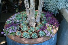 Echeverias and Sweet Alyssum seem made for each other as companion plantings, and I especially enjoy using the darker colored strains of Lobularia maritima for these combinations.