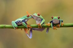 Redeyed Frogs