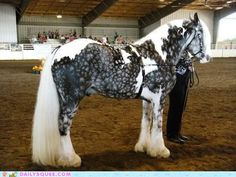 A silver dapple Irish Cob. Wow, probably the most gorgeous horse I have ever seen