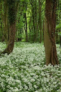 """Wild Garlic in woodl Beautiful -Food from Books: Stardust by Neil Gaiman- """"'Breakfast,"""" said a voice close to his ear. """"It's mushrumps, fried in butter, with wild garlic. Beautiful World, Beautiful Places, Beautiful Pictures, Landscape Photography Tips, Walk In The Woods, Woodland Creatures, Wild Flowers, Forest Flowers, Flowers Nature"""