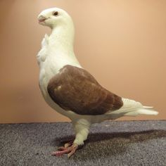 Antwerp Smerle Pigeon Breeds Pigeon Pictures Pigeon