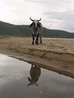 Transkei Beach cow Amazing Photos, Cool Photos, My Photos, Cow Pictures, Xhosa, Cow Painting, My Family History, Kwazulu Natal, My Land