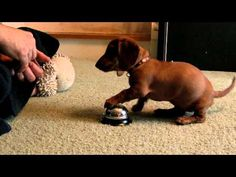 10 Week Old Pup Quickly Learns to Ring Bell!  The first step in pup asking to go outside to potty