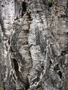 I found what I'm identifying as a small cork oak grove in a local park, and so I'm posting a picture of the trees, the bark and the leaf. Local Color, Little Acorns, Oak Grove, Water Wise, Local Parks, Tasting Room, Cork, Trees, Leaves