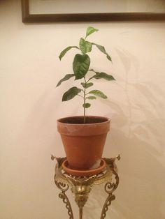 My lemon tree now...