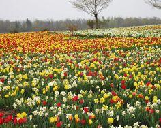 A field of flowers near Tillsonburg, Ontario