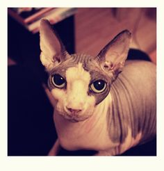sphynx cats photos