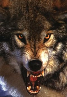 wolf growling | Snarling Wolf Large Closeup Bares Fangs Image From Tinypic Com Tags