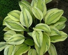 HOSTA \'Captain\'s Adventure\'