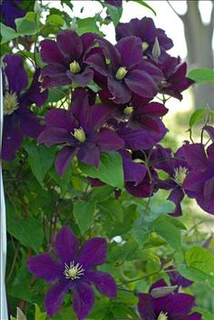 Warsaw Nike Clematis Described As Red Or Purple This Blooms A Rich Burgandy In