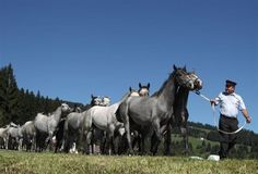 Young Lipizzaner stallions are led down from the Alps to their winter stable in Maria Lankowitz, Austria September 8, 2012. From the end of May until the beginning of September the Lipizzaner colts enjoy their summer sojourn in the mountains at a sea height of 1,500 metres, according to the Spanish Riding School in Vienna. Their return home to the Federal Stud Piber is traditionally celebrated before some of the colts are selected for training at the school. REUTERS-Heinz-Peter Bader