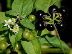 American Black Nightshade, Solanum americanum - it is frequently encountered on lists of poisonous plants. However, and rather paradoxically, it is just as frequently encountered on lists of edible plants! Strong evidence of its edibility has come from feeding experiments with cattle that ultimately were unable to demonstrate any toxicity (Rogers & Ogg 1981). Additionally, there are numerous instances of the leaves and ripe berries being used as food both by aboriginal and modern cultures...
