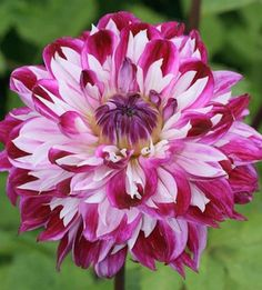 Dahlia 'Optic Illusi Beautiful gorgeous pretty flowers