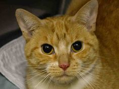 TO BE DESTROYED 3/17/15 *NYC* SWEET ORANGE TABBY! * Manhattan Center * Average Temple interacts with the observer, appreciates attention, is easy to handle and tolerates all petting throughout her behavior assessment. Although she reveals beginner behaviors, she may get demanding of attention. *   My name is TEMPLE. My Animal ID # is A1029017. I am a female org tabby and white amer sh mix. I am about 4.  I came in as a STRAY on 02/27/2015 from NY 10457,