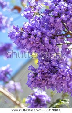 Flowering jacaranda branches on the sky background