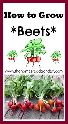 How to Grow Beets.... a favorite food of mine! Almost year-round fresh supply.