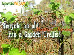 Mattress Spring, Garden Trellis, Peas, Recycle, Non-GMO, SeedsNow!