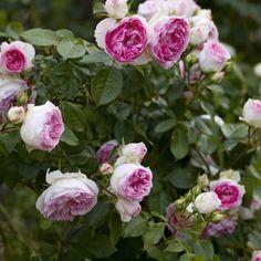 Rosier arbustif ou grimpant miniature - Rosa Mini Eden Rose