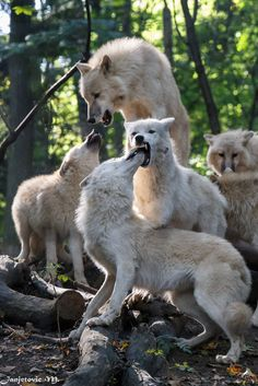 Polarwolf oder Weisswolf (Canis lupus arctos) - Arctic Wolf (by Mladen Janjetovic) Alphas being greeted by pack, much like parents greeted by young.