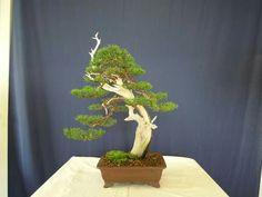 Juniperus Phoenicea. Foto del Facebook de Ignazio Giambrone. #Bonsai #BonsaiTree #盆栽 #BonsaiLife #Бонсай #BonsaiExhibition #盆景 #Penjing #Bonsaï