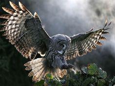 *The Sorcerer's Owl