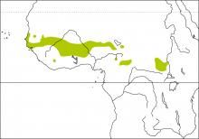 Yellow Penduline-tit (Anthoscopus parvulus)