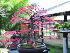 Acer palmatum. So vibrant and beautifully delicate.
