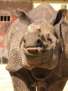 Rude Rhino