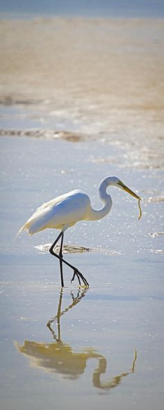 Great Egret With Prey by Patrick M. Lynch