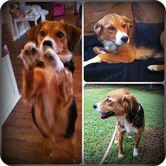 border beagle border collie x beagle mix info
