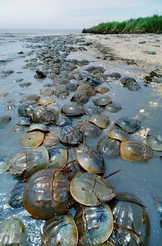 Horseshoe crabs spawning at tideline, Delaware Bay, New Jersey