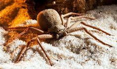 Ragno di Sabbia a Sei Occhi (Sicarius hahni)
