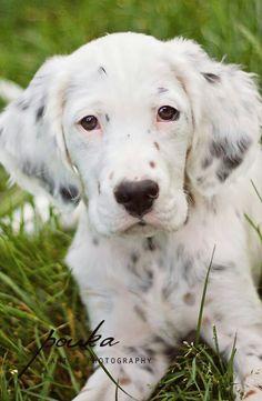 English Setter Puppy!!!