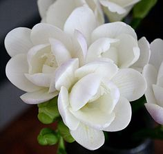 Freesia also comes in white would work nice for boutonnieres freesia also comes in white would work nice for boutonnieres white cream and light pinkpeach pinterest flowers beautiful flowers and gardens mightylinksfo