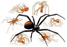 La cópula en arañas como la viuda negra de espalda roja acaba con el macho devorado por la hembra