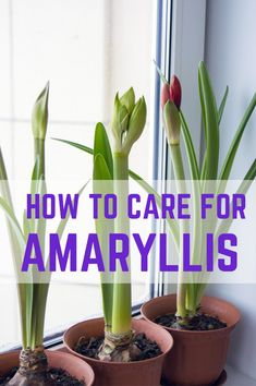 How do you look after your amaryllis plant so that it flowers again another year? Here are tips and instructions for amaryllis care, along with the information needed to tell the difference between hippeastrum and amaryllis species. Amaryllis Care, Amaryllis Plant, Amaryllis Bulbs, Amaryllis Flower Ideas, Small Flowers, Beautiful Flowers, Bulb Flowers, Tulips Flowers, Household Plants