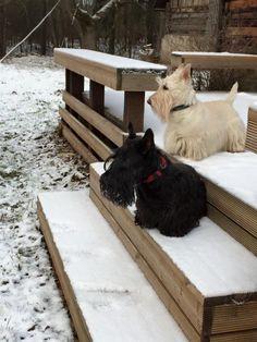 Scotties in the Snow