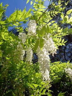 Wisteria Sinensis 'Alba' from Burncoose Nurseries available online to buy - Information: white form of the Chinese wisteria. Deciduous - pinnate leaves, each composed of elliptic to ovate leaflets. Chinese Wisteria, Wisteria Tree, White Wisteria, Wisteria Sinensis, Comment Planter, Climbing Vines, Growing Grapes, Growing Flowers, Ornamental Plants