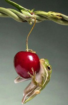 The Cherry and the Frog