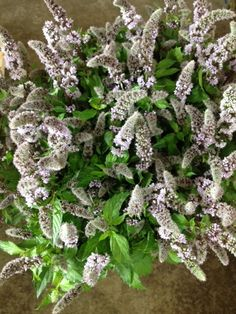 Mentha Fresh Sensation Wow The Smell Sold In Bunches Of 10 Stems