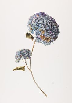 Gael Sellwood, 'Hydrangea' - preview of the stunning botanical drawings on display at the RHS Botanical Art Show Feb 27-28