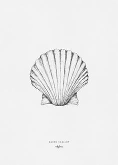 High-quality digital print created from an original and hand-drawn illustration by inkylines. A drawing of the queen scallop seashell. Shells are a symbol of life.