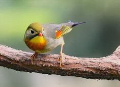 Red-billed Leiothrix or Pekin Robin or Pekin Nightingale or (Leiothrix lutea) Most Beautiful Birds, Pretty Birds, Love Birds, Animals Beautiful, Cute Animals, Small Birds, Little Birds, Colorful Birds, Exotic Birds