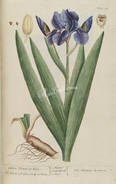 Garden Flower-de-Luce, iris nostras hortensis      ...