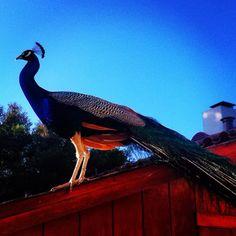 Peacock - Naval Postgraduate School, Monterey, CA