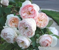 English Rose 'Evelyn'. Rosa. 4-6' tall. Blooms June-September. Flowers vary from orange to pink.