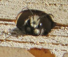 An orchard mason bee
