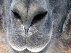 llama nose @Erica Hellinger