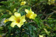 Yellow Allamanda in California, Costa Rica, a suburb of San Jose, the capital.
