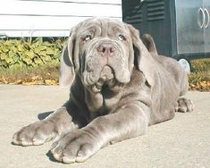 "The breed is commonly referred to as the ""Mastiff"". Also known as the English Mastiff this giant dog breed gets known for its splendid, good nature. Mastiff Puppies For Sale, English Mastiff Puppies, Dogs And Puppies, English Mastiffs, Napoleon Mastiff, Beautiful Dogs, Animals Beautiful, Neopolitan Mastiff, Animals And Pets"